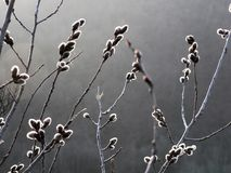 цветение раньше может поскакать верба Стоковое фото RF