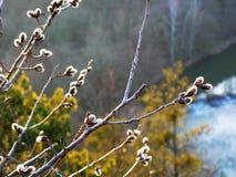 цветение раньше может поскакать верба Стоковые Фотографии RF