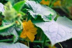 Цветение расти огурца Бостона маринуя Стоковое фото RF