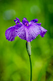 Цветение радужки Стоковое фото RF