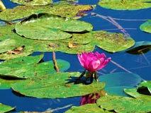 Цветение розовой лилии воды в заповеднике Frauweiler Wiesen Стоковая Фотография RF