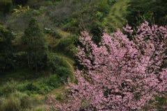 цветение розовый sakura стоковые фотографии rf
