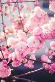 цветение розовый sakura Стоковое Фото
