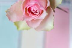Цветение розы пастельного цвета и лето предпосылки близкое поднимающее вверх romanti Стоковое Фото
