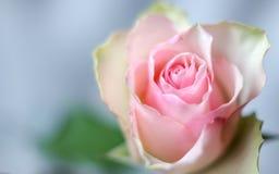 Цветение розы пастельного цвета и лето предпосылки близкое поднимающее вверх romanti Стоковые Изображения RF