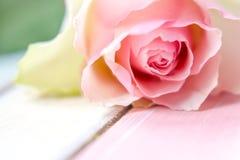 Цветение розы пастельного цвета и лето предпосылки близкое поднимающее вверх romanti Стоковые Изображения