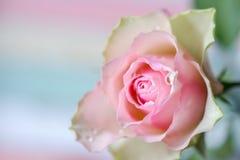 Цветение розы пастельного цвета и лето предпосылки близкое поднимающее вверх romanti Стоковое Изображение RF
