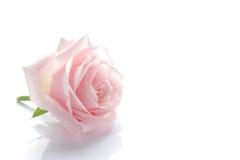 Цветение розы пинка на белизне стоковая фотография