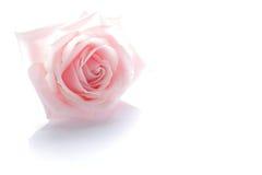 Цветение розы пинка на белизне 2 стоковая фотография rf