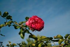 Цветение розы пинка полностью, конец вверх Стоковые Фотографии RF