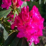 Цветение рододендрона Стоковые Фото