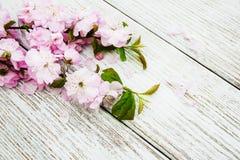 Цветение Сакуры весны Стоковое Изображение RF