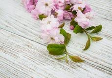 Цветение Сакуры весны Стоковые Изображения RF