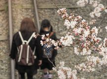 Цветение Сакуры вишни на железной дороге Стоковая Фотография