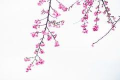 Цветение Сакуры в зиме Стоковое Изображение