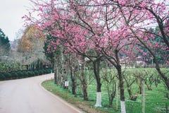 Цветение Сакуры в зиме Стоковое Изображение RF