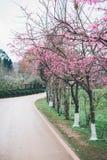 Цветение Сакуры в зиме Стоковые Изображения