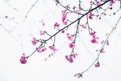 Цветение Сакуры в зиме Стоковая Фотография RF