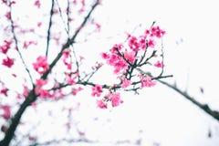Цветение Сакуры в зиме Стоковая Фотография