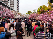 Цветение Сакуры на Осака, Японии 2 Стоковое Фото