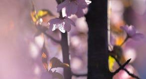 Цветение Сакуры, японской вишни цветения, в солнечном утре стоковая фотография