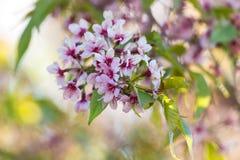 Цветение Сакуры Стоковая Фотография