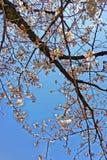 Цветение Сакуры Стоковые Изображения