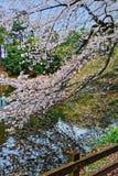 Цветение Сакуры Стоковые Изображения RF