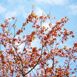 Цветение Сакуры Стоковые Фото