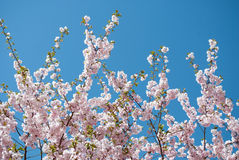 Цветение Сакуры Стоковое Изображение RF