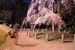 Цветение Сакуры Chery Стоковые Фото