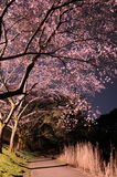 Цветение Сакуры Chery Стоковая Фотография