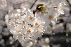 Цветение Сакур-вишни цветет конец-вверх Стоковая Фотография RF