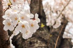Цветение Сакур-вишни цветет на предпосылке веселого цветения Стоковая Фотография RF