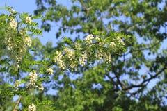Цветение саранчи Стоковые Изображения RF