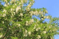 Цветение саранчи Стоковое Изображение RF