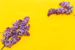 Цветение сирени на положении желтой предпосылки плоском Пурпурные цветки с взглядом сверху листьев Весна, лето Зацветая красивый  стоковое изображение