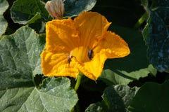 Цветение сквоша Стоковая Фотография