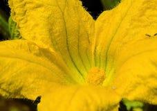 Цветение сквоша Стоковые Фото