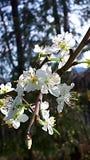 Цветение сливы в саде в Burnley Англии стоковые фото