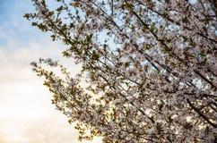 Цветение сливы на заходе солнца стоковая фотография