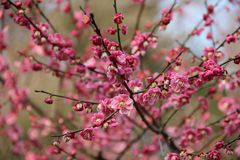 Цветение 3 сливы стоковое фото rf