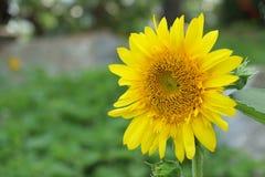Цветение солнцецвета в середине Стоковые Изображения RF