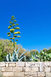 Цветение столетника в Мальте Стоковое Фото
