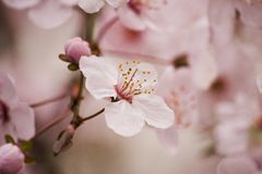 Цветение сливы вишни Стоковые Изображения