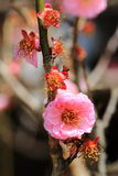Цветение сливы Стоковые Фото