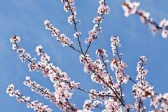Цветение сливы Стоковые Изображения RF