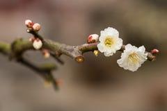 Цветение сливы Стоковая Фотография