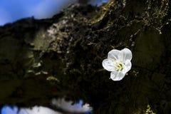 Цветение сливы Стоковое фото RF