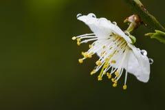 Цветение сливы Стоковые Изображения